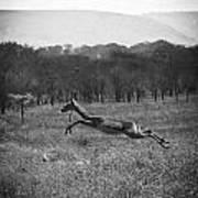 Antelope Jumping In Full Stride Poster