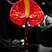 Anthurium Rising Poster by Jacqui Collett