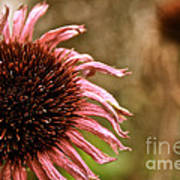 Antique Cone Flower Poster