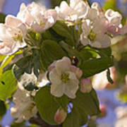 Apple Blossoms 3 Poster