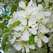 Apple Blossoms On The Trail Poster
