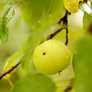 Apple Taste Of Summer Poster
