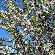 Apple Tree In Bloom Poster