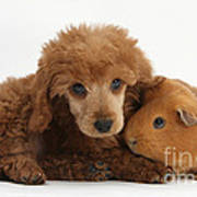 Apricot Miniature Poodle Pup With Red Poster