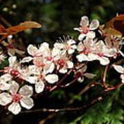 April Plum Blossom Poster