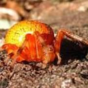 Araneus Marmoeus Poster