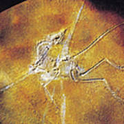 Archaeopteryx Lithographica Poster