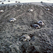 Arribada Of Olive Ridley Turtles, Costa Poster
