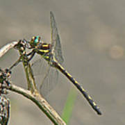 Arrowhead Spiketail Dragonfly - Cordulegaster Obliqua Poster