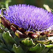 Artichoke Flower  Poster