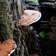 Artist Conk Mushroom  Poster