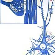 Artwork Of A Nerve Cell Of The Brain & A Synapse Poster