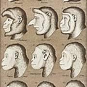 Artwork Of Twelve Catarrhines, 1870 Poster by Mehau Kulyk