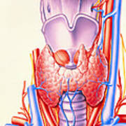 Artwork Showing The Thyroid Gland Poster