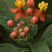 Asclepias Curassavica Poster