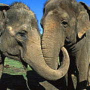 Asian Elephant Elephas Maximus Pair Poster