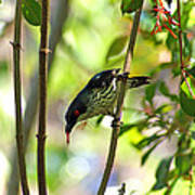 Asian Glossy Starling Poster