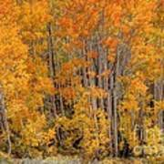 Aspen Forest In Fall - Wasatch Mountains - Utah Poster