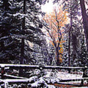 Aspen In Snow Poster by Barry Shaffer