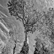 Aspen In The Sky Bw Poster