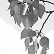 Aspen Leaves In Black And White Poster