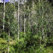 Aspen Trees - Vail Poster