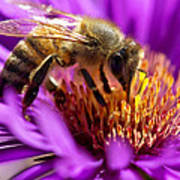 Aster Bee Poster