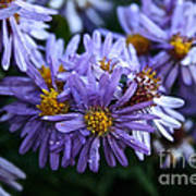 Aster Dew Drops Poster