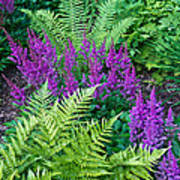 Astilbe And Ferns Poster
