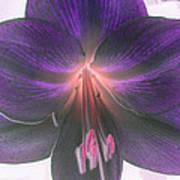 Aubergine Amaryllis Poster