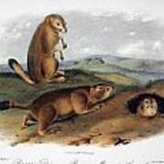 Audubon: Prairie Dog, 1844 Poster