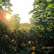 August Sunrise In The Garden Poster