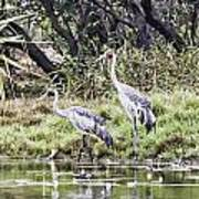 Australian Cranes At The Billabong Poster