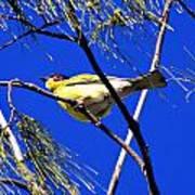 Australian Figbird Poster