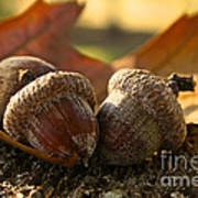 Autumn Acorns Poster