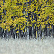 Autumn Aspen Grove Near Glacier National Park Poster