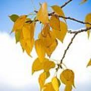 Autumn Aspen Leaves Poster