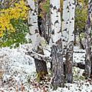 Autumn Aspens And Snow Poster