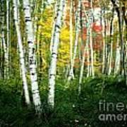 Autumn Birch Grove Poster