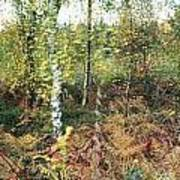 Autumn Birchh Forest Poster