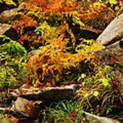 Autumn Ferns On Pickle Creek At Hawn State Park Poster