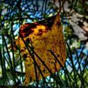 Autumn Leaf In The Pine Needles Poster