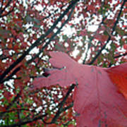 Autumn Red Maple Tree Poster