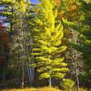 Autumn Scene Of Colorful Trees On The Little Manistee River In Michigan No. 0855 Poster