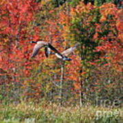Autumn Vermont Geese And Color Poster