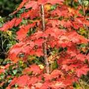 Autumnal Acer Poster
