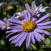 Autumn's Aster Poster