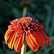 Autumn's Cone Flower Poster