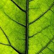 Avocado Leaf 2 Poster