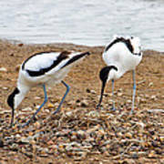 Avocets At Nest Poster